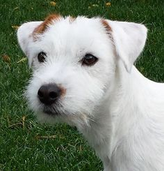 """artofdogs: """" Parson Russell Terrier Every Terrier need love and training."""