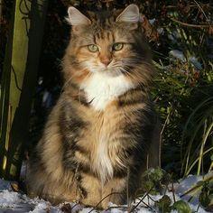 Sibirische waldkatzen vom hohen timp cat pinterest for Welche poolfolie 0 6 oder 0 8