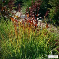Andropogon gerardii 'Rain Dance' (Rain Dance Big Bluestem Grass) is a showy prairie native grown for its outstanding maroon-red late summer and fall foliage. A wonderful companion for many late season blooming perennials.