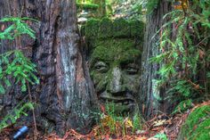 Old Man of the Redwood