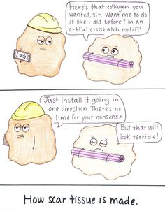 Beatrice the Biologist: How Scar Tissue is Made
