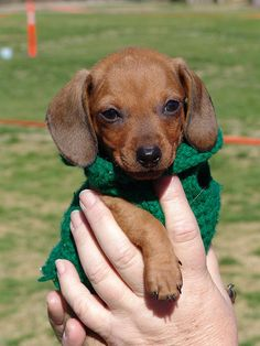 tiny baby doxie in a green sweater