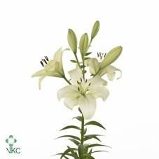 Lily LA Trebbiano are great for flower arrangements for weddings and events! Creating a natural and textured look! Head over to www.trianglenursery.co.uk for more information! Great wholesale prices!