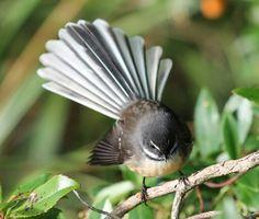 NZ native Fantail