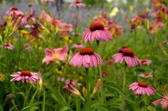 Pink Coneflower. Deer resistant late summer blooming perennial. Comes in many colors.