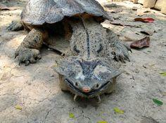 """Apesar da sua aparência diferente, a Matamata ( 'Chelus fimbriata ') é um cágado (""""tartaruga de água doce"""") muito dócil, encontrada principalmente na América do Sul."""