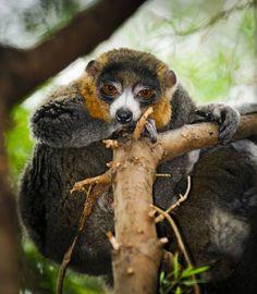 Lemur Mongoose
