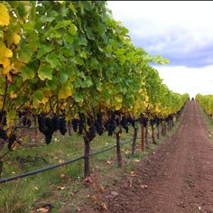 Oregon Pinot Noir on the vines near the end of the 2011 growing season.