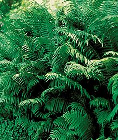 Fern, Ostrich Our favorite fern for shade gardens.  Customer Favorite! Well-appointed woodland gardens should reserve plenty of room for fancy fronds, and the Ostrich Fern is one of the all time best. Tall feathery plumes of green rise to 3 ft producing large stands over time if grown in moist, humus-rich soils. Product Details lifecycle: Perennial  Zone: 3-9  Sun: Full Shade, Part Sun  Height: 32-40  inchesSpread: 24-30  inchesUses: Beds, Borders