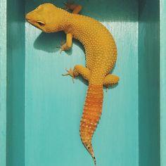 leopardgecko carrottail