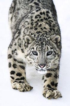 I LOVE Snow Leopards!!!- Amo a los leopardos de las nieves!!!