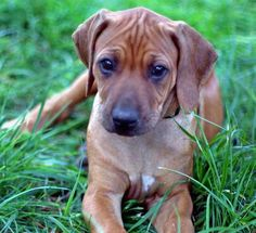 Ruby the Rhodesian Ridgeback puppy