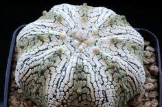 astrophytum asterias cv. super kabuto star shape Cactus Cactus, Cacti And Succulents, Star Shape, Gardens, Shapes, Flowers, Plants, Pictures, Succulents
