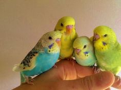 baby budgie - Google Search