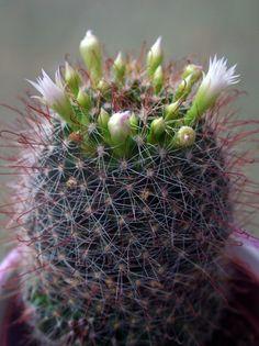 Mammillaria Zeilmanniana Albiflora Cactus -
