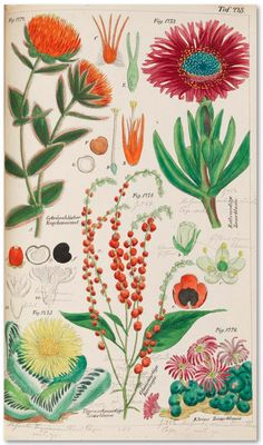 Wilhelm Ludwig Petermann (1806-1855 German botanist), 1847, Das Pflanzenreich (The plant kingdom).