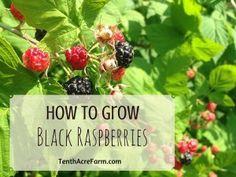 How to Grow Black Raspberries
