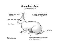 Snowshoe hare Winter Activities, Preschool Winter, Preschool Ideas, Artic Animals, Draw Animals, Hare Images, Snowshoe Hare, Arctic Hare, Rabbit Rabbit Rabbit