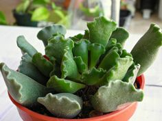Adromischus cristatus (Crinkle Leaf Plant) → Plant characteristics and more photos at: http://www.worldofsucculents.com/?p=3202