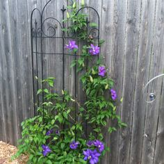 Our friends John and Lorraine had many clematis plants along their back fence and shared some with us.