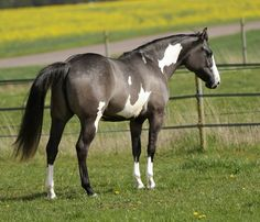grulla paint horse