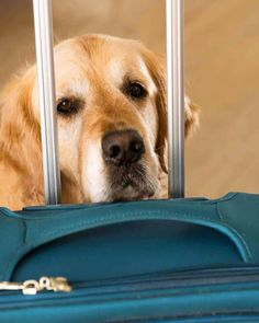 Dozer the golden retriever dog concerned at the sight of a suitcase Cooking Pork Loin, Slow Cooker Pork Roast, Pork Roast In Oven, Pork Chop, Pork Loin Sauce, Cuban Pork Sandwich, Roast Recipes, Crockpot Recipes, Cooker Recipes