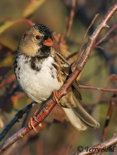 nunavut bird