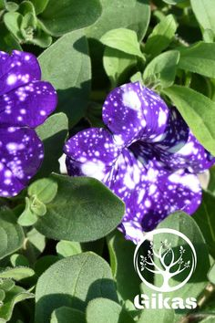 Spring Plants, Petunias, Facebook Sign Up, Dahlia, Planting Flowers, Plant Leaves, Daisy, Margarita Flower, Daisies