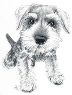 Beautiful schnauzer sketch