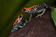 Bild: Andy Hunger - Pfeilgiftfrosch - Ranitomeya reticulata