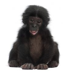 Chimpansee baby