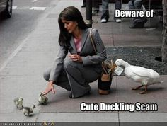 Cute Ducklings | ... should be warned about mother ducks using their ducklings as decoys