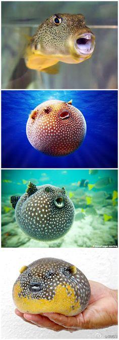 pufferfish squee