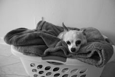 Chihuahua in a laundry basket