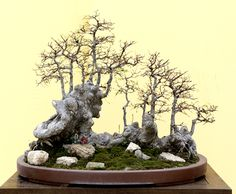 Bill's Bonsai Photos at the Zhongguo Feng Penjing Exhibition Bonsai Forest, Bonsai Garden, Bonsai Wire, Bristlecone Pine, Deciduous Trees, Landscape Art, Japanese Art, Botanical Gardens, Aquariums