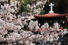 Cherry blossoms in Hiroshima JAPAN by 片柳弘史さん