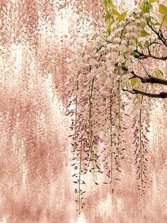 at wisteria trellis. 藤棚にて.