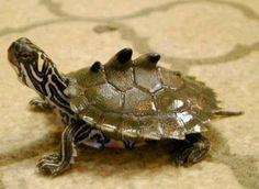 Black Knobbed Turtle (Graptemys nigrinoda) United States Map Turtle, Turtle Love, Turtle Shells, Baby Animals, Funny Animals, Cute Animals, Tortoise Turtle, Tortoise Care, Sulcata Tortoise