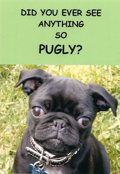 Pug is pugly! Pet Postcard Project