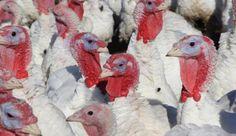 Influenza aviaria: due focolai nel ferrarese. Oltre 50.000 capi abbattuti. Nessun pericolo dal consumo di carne e uova