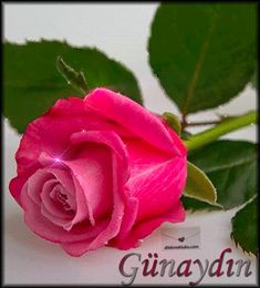 Good Morning Love Images And Messages 2020 - Good Morning Images, Quotes, Wishes, Messages, greetings & eCards Beautiful Pink Roses, Beautiful Flowers Wallpapers, Pretty Flowers, Good Morning Romantic, Good Morning Images, Flowers Gif, Flowers Nature, Game Wallpaper Iphone, Rose Images