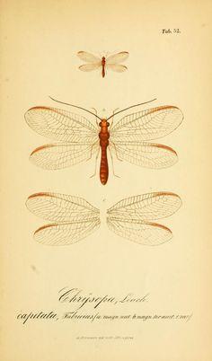 Symbolae ad monographiam generis chrysopae, Leach. - Biodiversity Heritage Library
