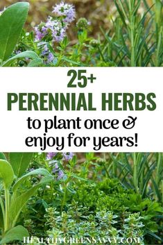 There are so many perennial herbs to plant in your garden or in pots on your balcony or windowsill. Find out which herbs are perennial in your area and what to know about incorporating them into your landscape. #garden #perennialplants #herbs #growingherbs Organic Gardening, Gardening Tips, Grow Turmeric, Herbs List, Natural Lifestyle, Natural Cleaners, Growing Herbs, Medicinal Plants, Permaculture