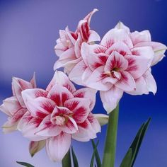 Elvas Amaryllis Bulb from American Meadows, your trusted source for Amaryllis Flower Bulbs. We offer gardeners guaranteed Elvas Amaryllis Bulb and all the information and confidence needed to succeed. Amazing Flowers, Beautiful Flowers, Amaryllis Bulbs, Amarillis, Bloom, Bouquet, Bulb Flowers, Houseplants, Flower Power