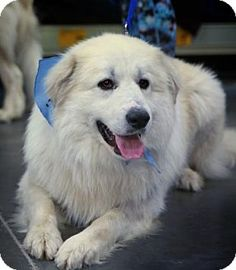Baltimore, MD - Great Pyrenees Mix. Meet Budge, a dog for adoption. http://www.adoptapet.com/pet/12179897-baltimore-maryland-great-pyrenees-mix