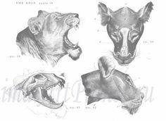 Книги По Анатомии И Построению Животных