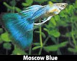 Guppy fish and Freshwater tropical fish exporter and aquatic plants supply from Thailand