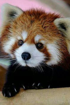 Filhote de Panda - Vermelho.