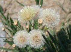 Dandelion, Greece, Flora, Plants, Dandelions, Taraxacum Officinale, Grease, Plant, Planting
