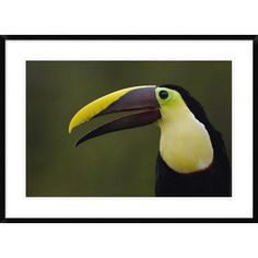 """Global Gallery 'Chestnut-Mandibled Toucan' Framed Photographic Print Size: 26"""" H x 36"""" W x 1.5"""" D"""